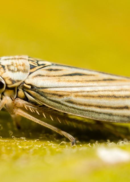 Sharpshooter leafhopper #3
