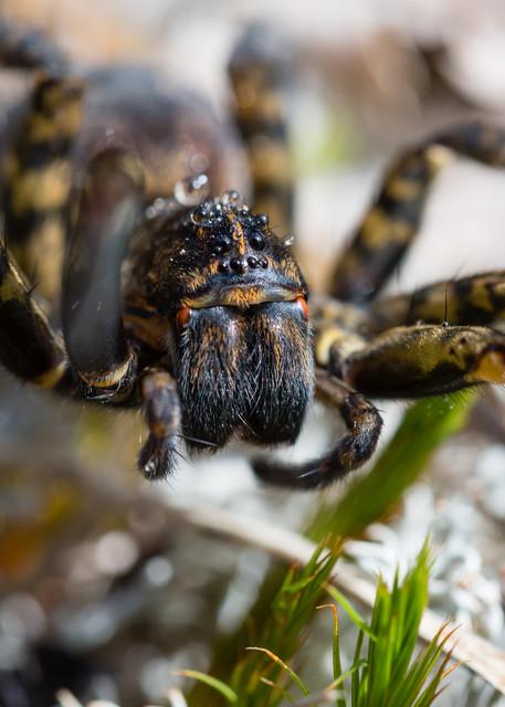 Tiger wolf spider #1