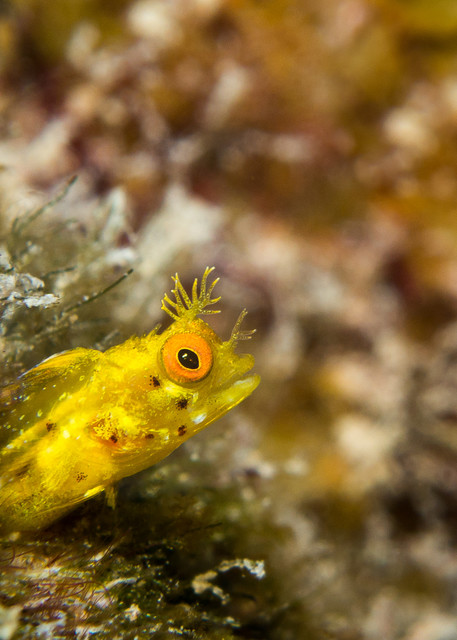 Golden roughhead blenny
