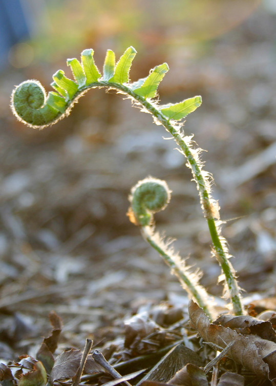 fern, fiddle ferns, fern buds