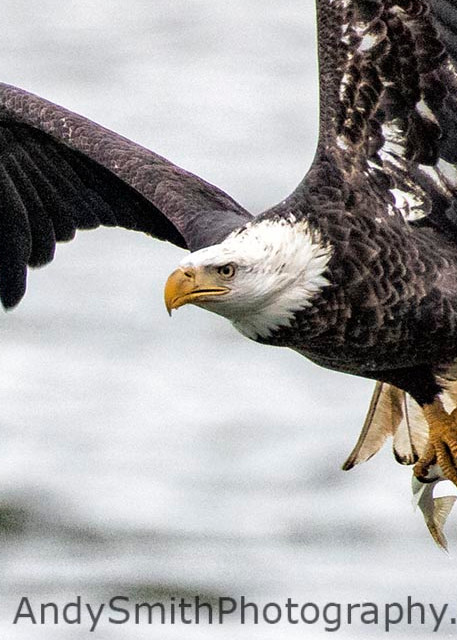 fine art photogrpah of fourth year Bald Eagle in Flight with Fish at the Conowingo Dam