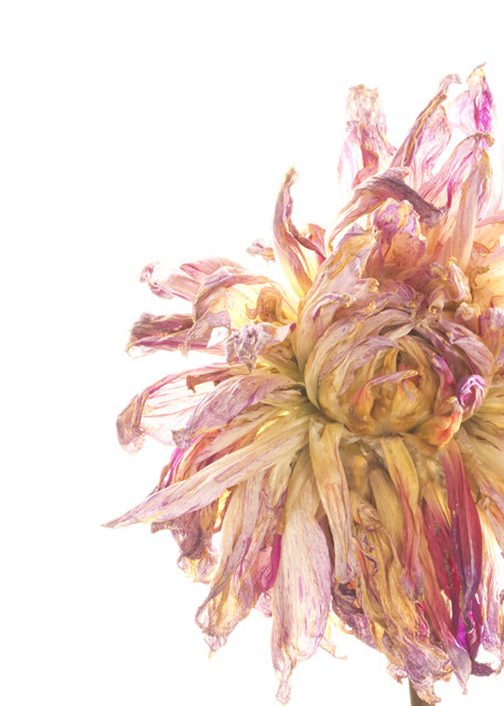 Out of Control Photograph of a Withered Bloom | Susan Michal Fine Art