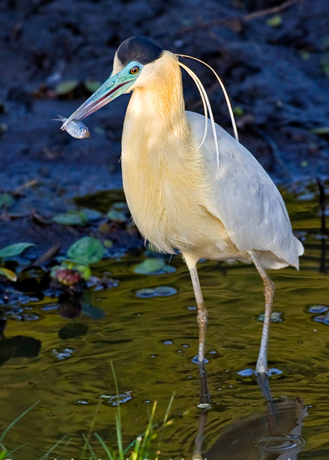 fine art photogrpah of capped heron with fish