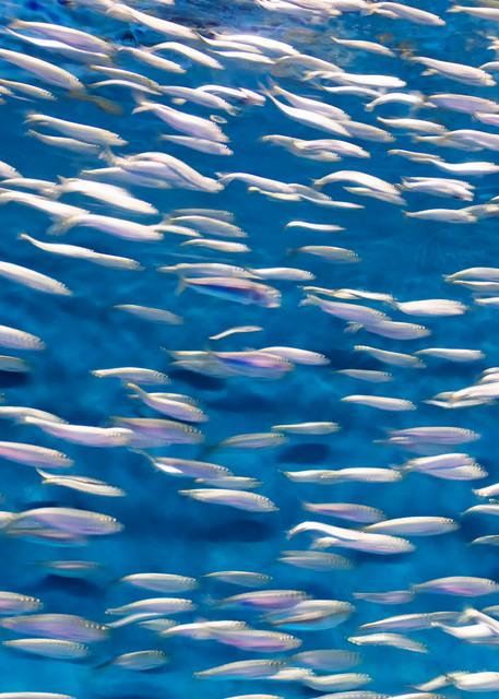 """Sardines!"" Fine art abstract aquarium fish photography"