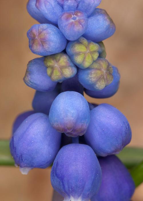 Grape Hyacinth photograph for sale as Fine Art