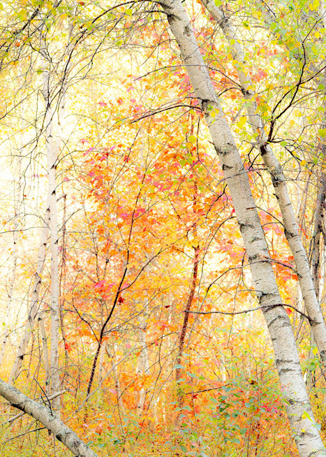 Peter Wnek captured a vibrant New England autumn scene of white birch trees backlit by the sun.