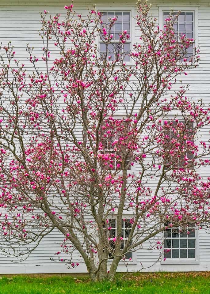 Shaker Village Pink Dogwood in Bloom