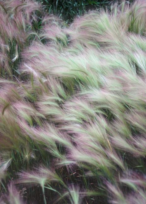 Soft foxtail barley bending to the breeze - fine art photograph