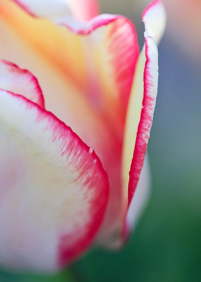 """Macro Tulip I"" Vertical Fine Art Rhode Island Large Floral Photograph"