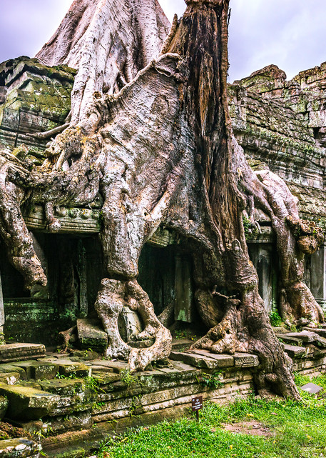 A Tree Grows Through It. A Spung tree growing into the side of the temple structure