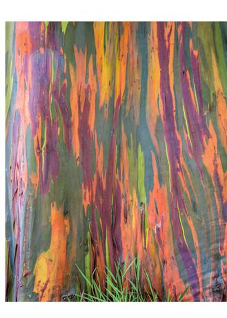 Eucalyptus tree colors, Kauai eucalyptus
