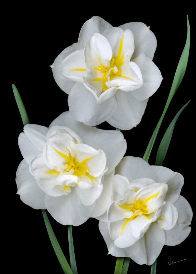 White Daffodil Trio. Contemporary ultra high resolution wall art. A print of an original artwork by Mary Ahern Artist.