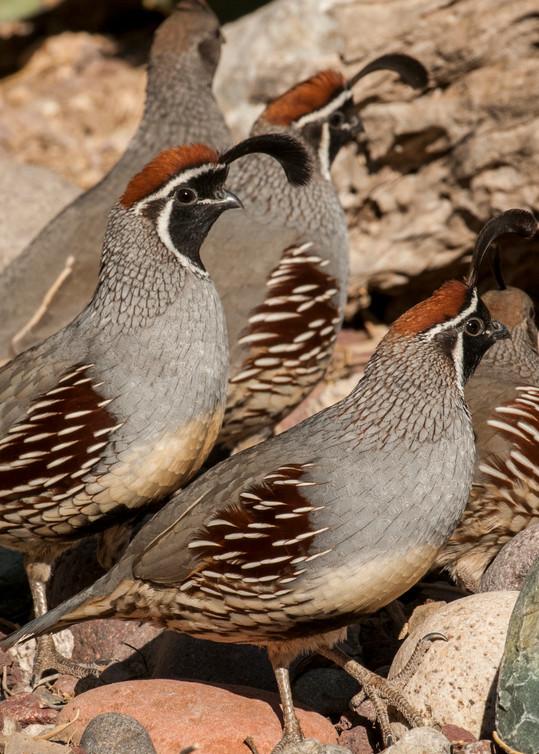 Gambel's quail group