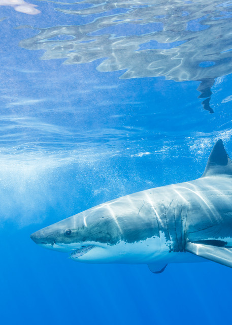 Great White Shark Reflections, Guadalupe Island, Mexico