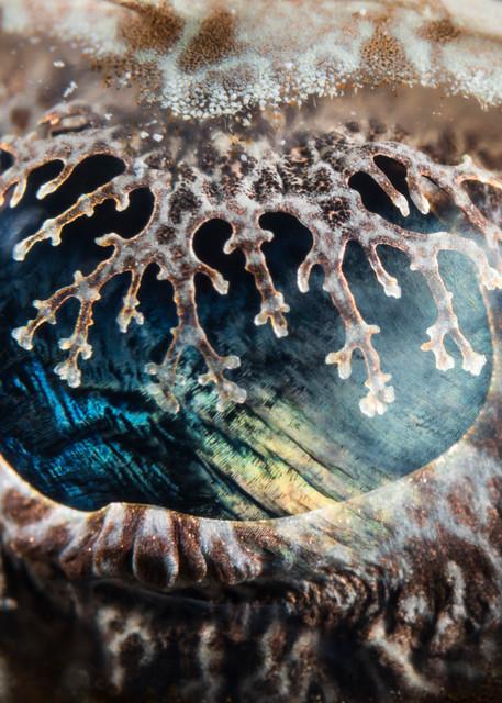 Crocodile Flathead Fish Eye, Solomon Islands