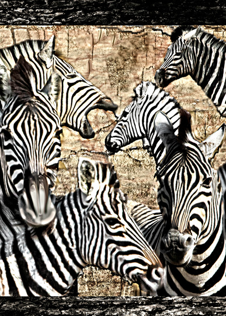 Zebra Family Photography Art | Images2Impact
