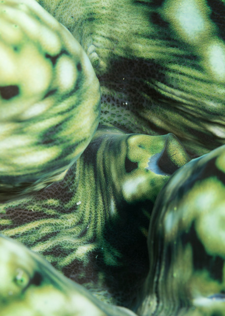 Green Giant Clam Detail, Great Barrier Reef, Australia