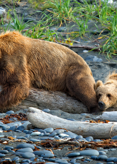 Bears Sawing Logs Photography Art | Images2Impact