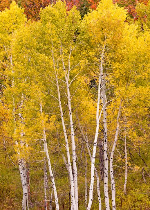 Vertical Aspen photo