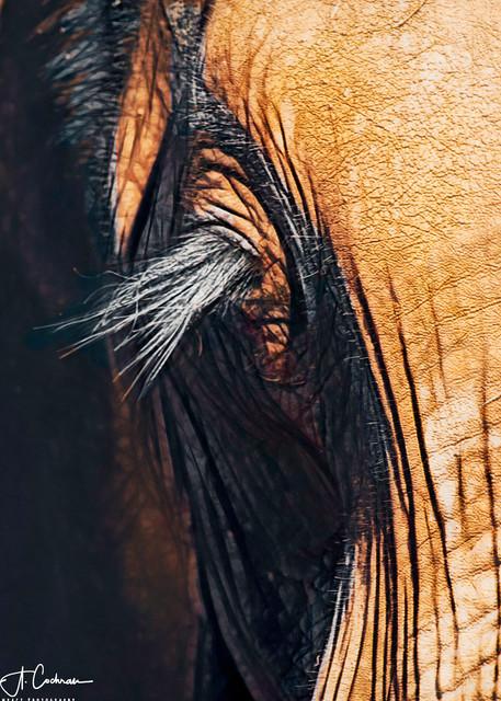 Elephant Lashes Photography Art   Images2Impact