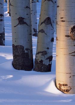 COL-T024 • Aspen Grove, Winter