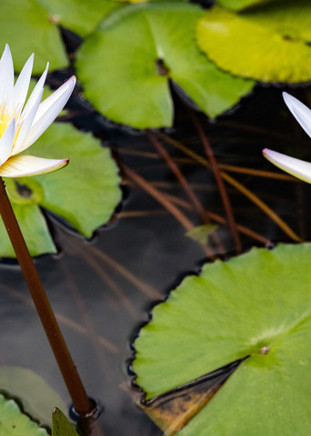Two White Water Lilies