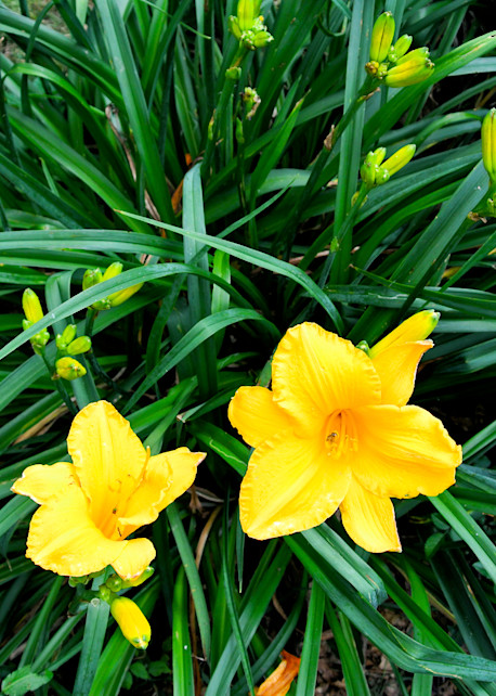 Day Lilies Arrive Print