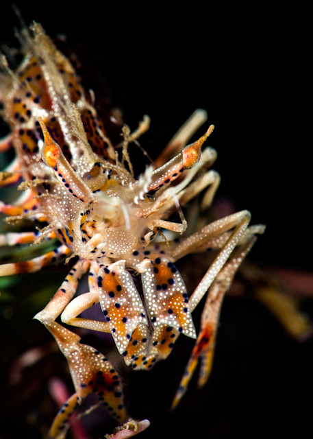 A beautiful tiger shrimp is available as a fine art photograph for sale