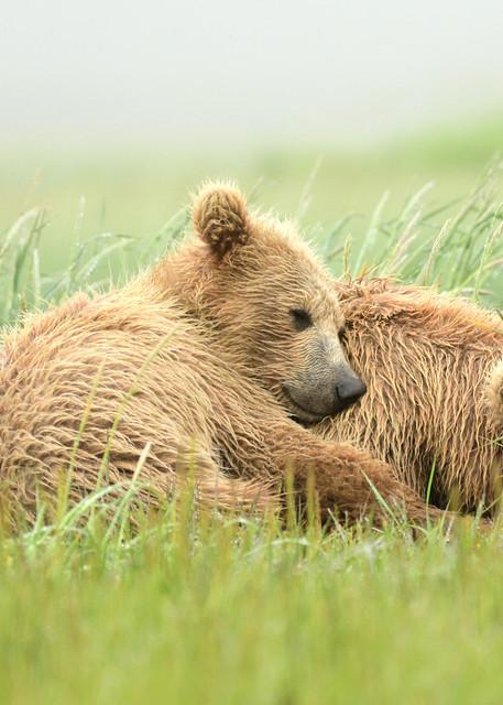 Sleepy Bear Nap Time - Katmai Alaskan Photographs - Alaska Brown Bears - Fine Art Prints on Metal, Canvas, Paper & More By Kevin Odette Photography