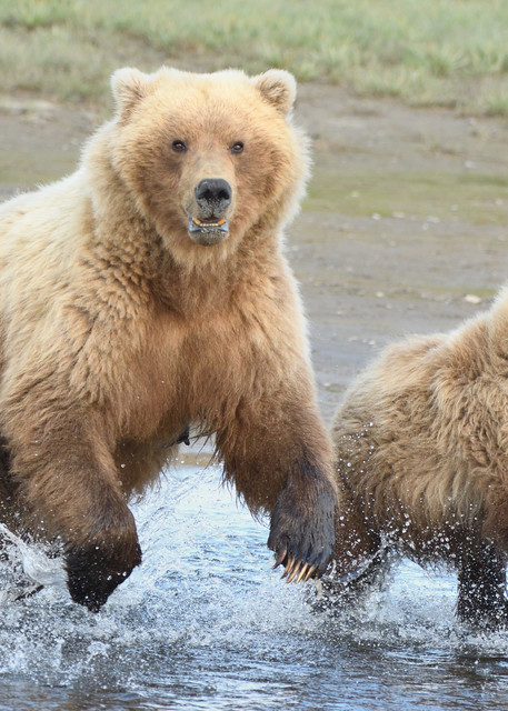 Momma Sow and Little Cub Running Through Water - Katmai Alaskan Photographs - Alaska Brown Bears - Fine Art Prints on Metal, Canvas, Paper & More By Kevin Odette Photography