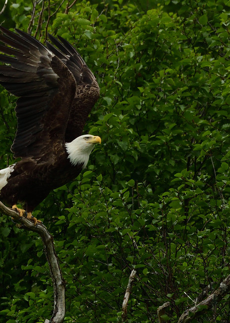 Eagle Launching - Katmai Alaskan Photographs - Birds of Prey in Flight - Fine Art Prints on Metal, Canvas, Paper & More By Kevin Odette Photography