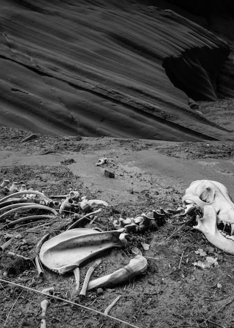 Lonesome Wolf Skeleton