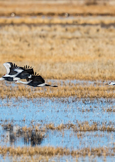 Sand Hill Cranes Low And Slow Art | Third Shutter from the Sun Photography
