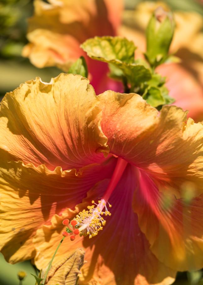 Orange Hibiscus Flower, San Diego, California