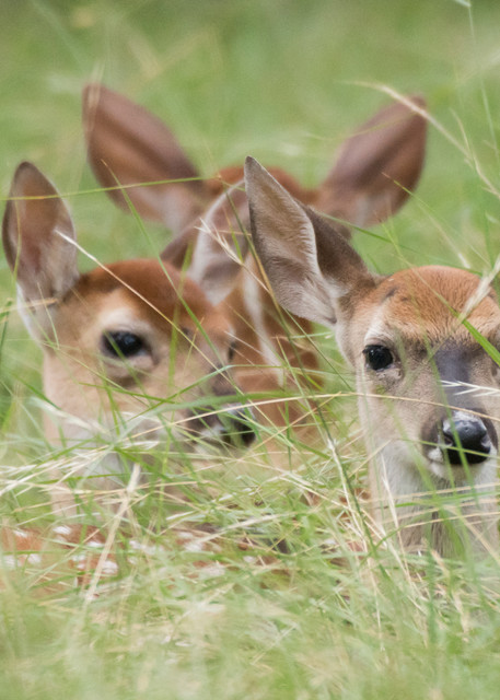 White-tailed Deer Fawns, Horseshoe Bay, Texas