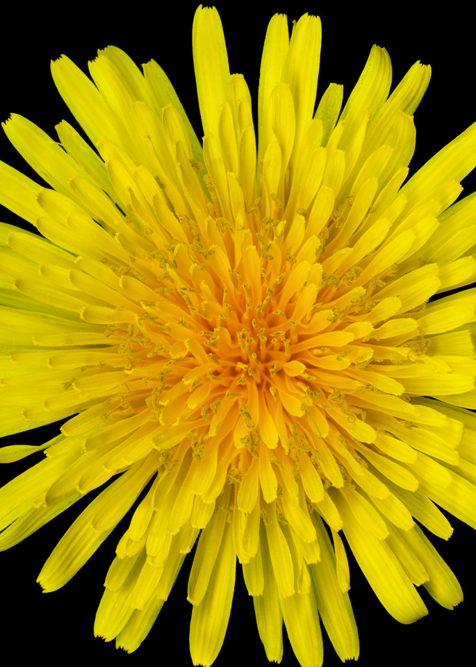 Dandelion Flower Squared. Contemporary ultra high resolution wall art. A print of an original artwork by Mary Ahern Artist.