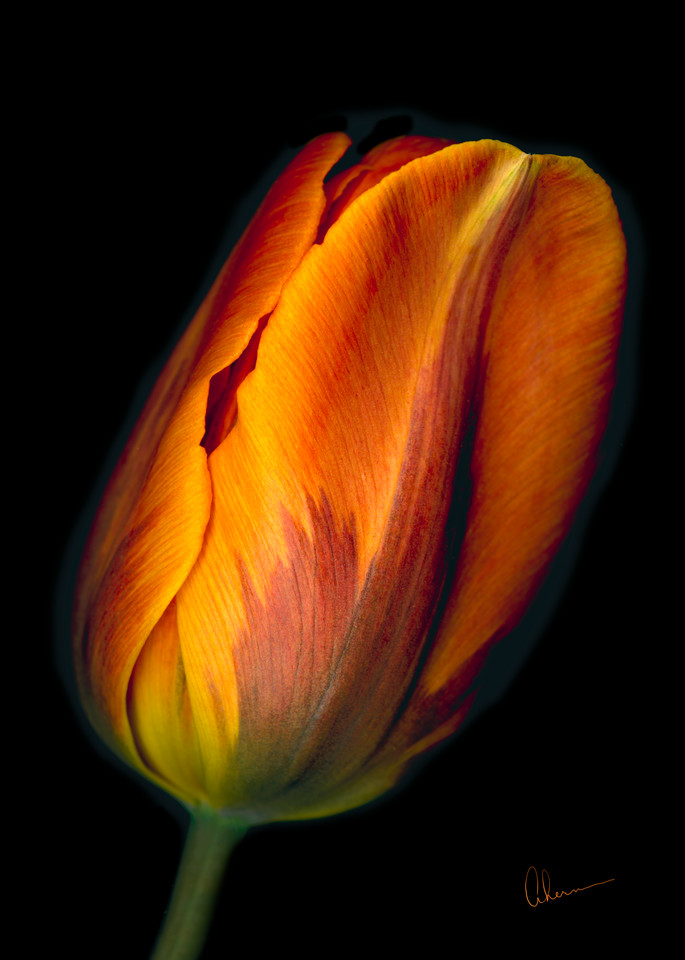 Conversation-Orange Tulip 1. Contemporary ultra high resolution wall art. A print of an original artwork by Mary Ahern Artist.