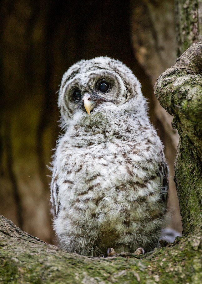 Baby Barred Owl Nest Art   Third Shutter from the Sun Photography