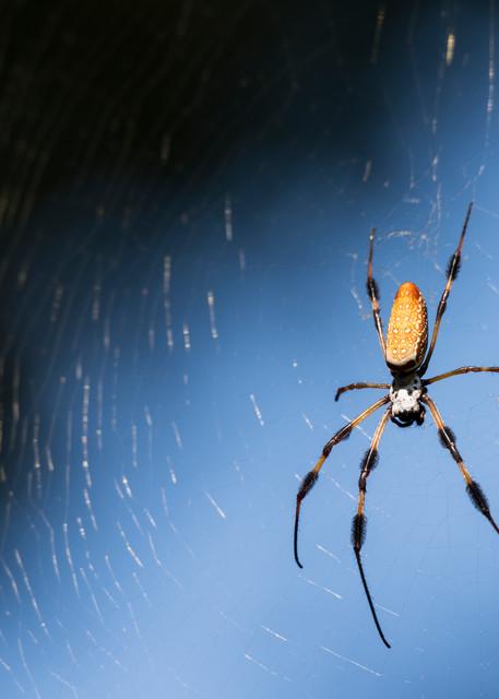 Orb-weaver Spider, Damon, Texas