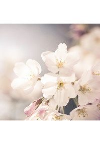 Cherry Blossom Tryptic Photography Art   Sandy Adams Outdoorvizions Photography