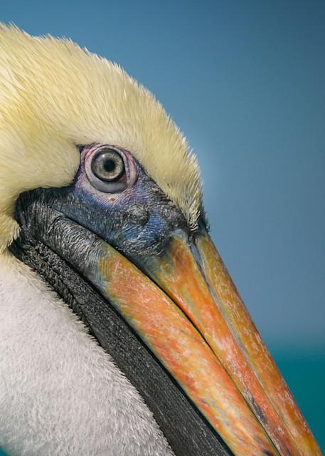 Pelican Portrait