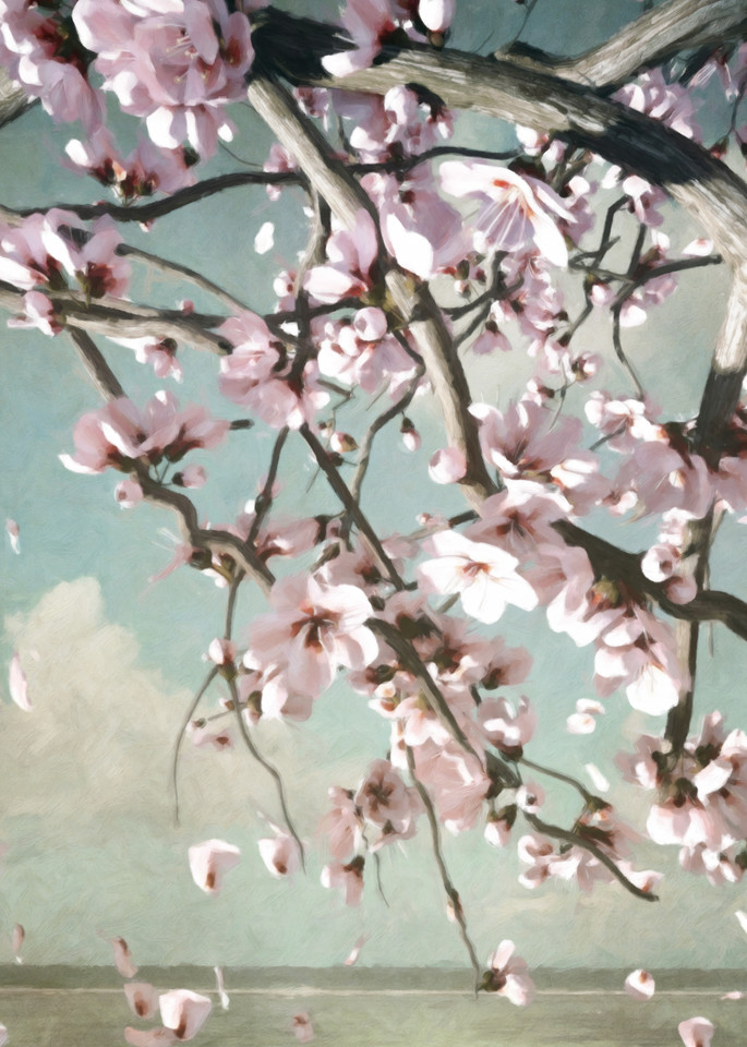 Cherry Blossoms | Cynthia Decker