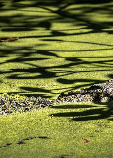 Swamp Gator Art | Black Label Gallery