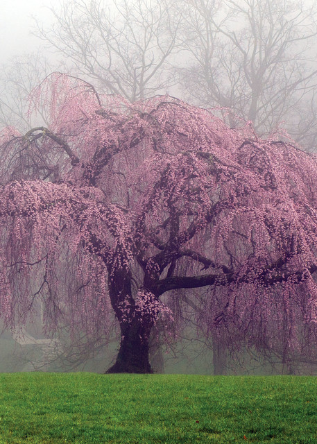 Japanese Weeping Cherry