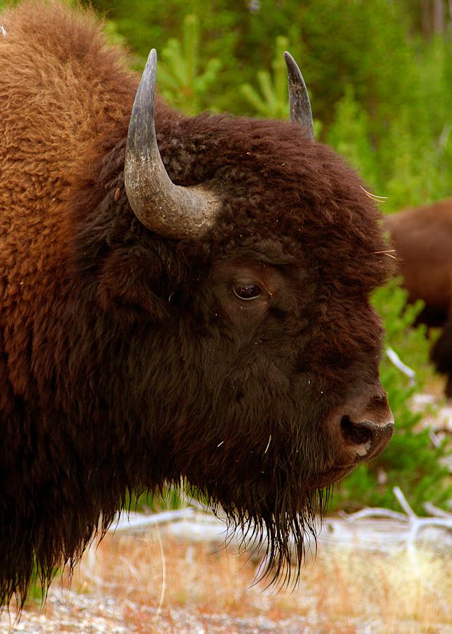 Buffalo Photo Print