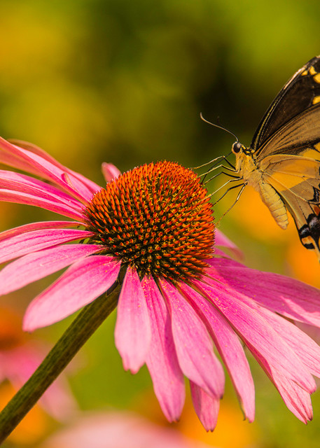 Butterfly - Swallowtail Pink Coneflower Photo Print