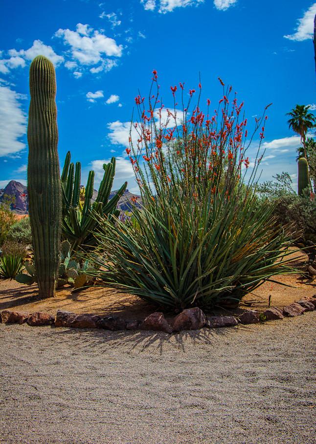 Cactus - Octillo Garden  Photo Print