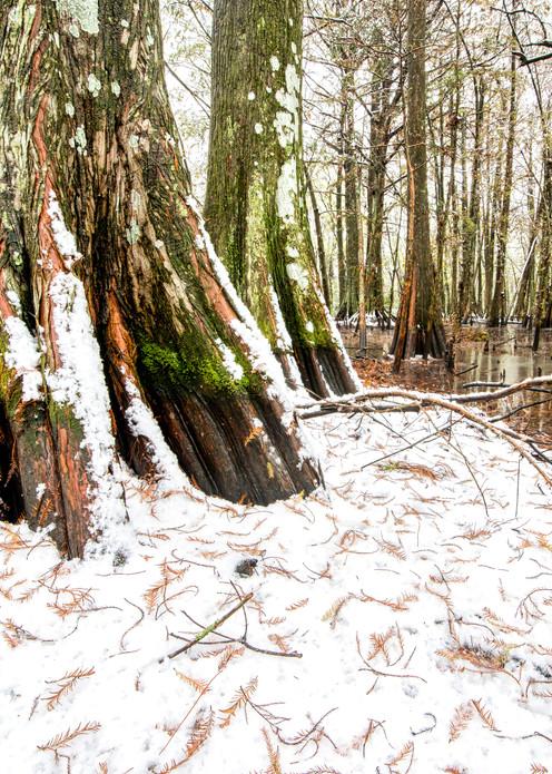 Cypress swamp snowfall