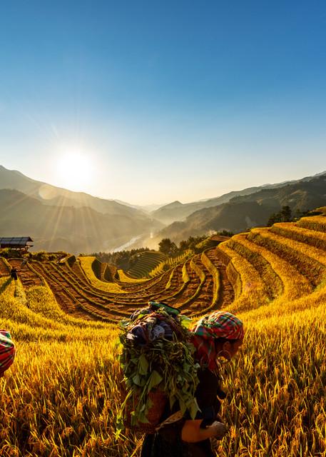 Harvest Time in Sang Nhu Mu Cang Chai