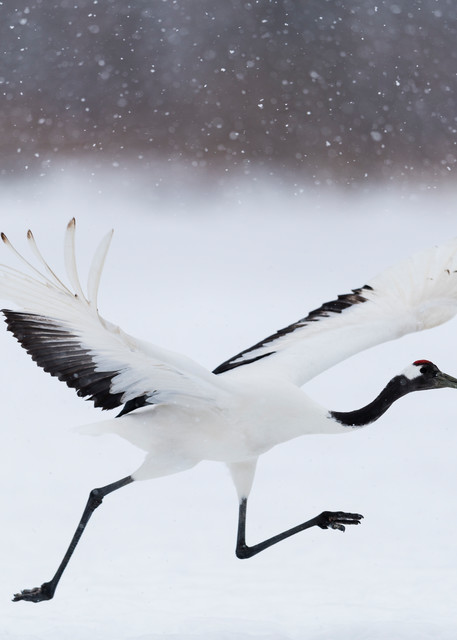 Ready to take off Red-crowned crane in Kushiro